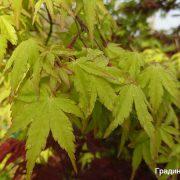 Acer_palmatum