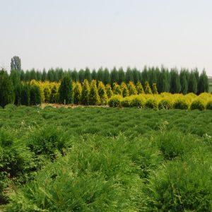 Иглолистни дървета и храсти