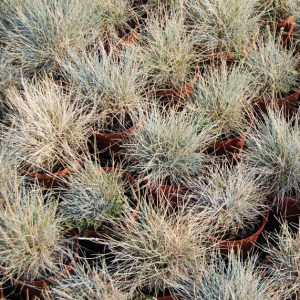 декоративна трева
