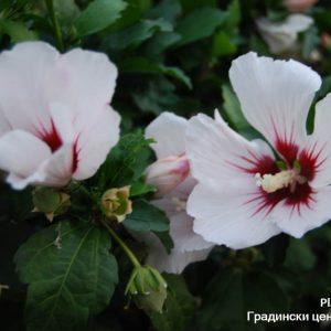 цвят на ружа