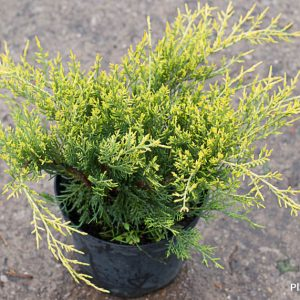 Juniperus_Old_Gold