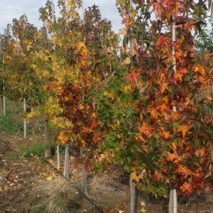 ликвидамбър - амброво дърво