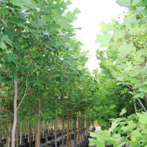 лирово дърво
