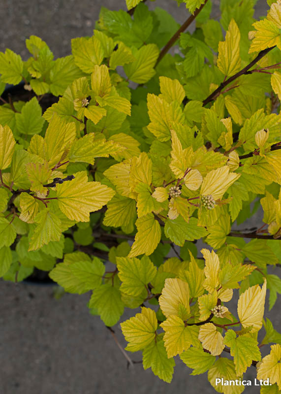 Physocarpus_opulifolius_Darts's_Gold