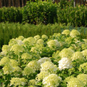 hydrangea-хидрангея