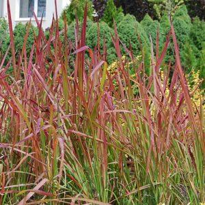 деокоративна трева императа червен барон